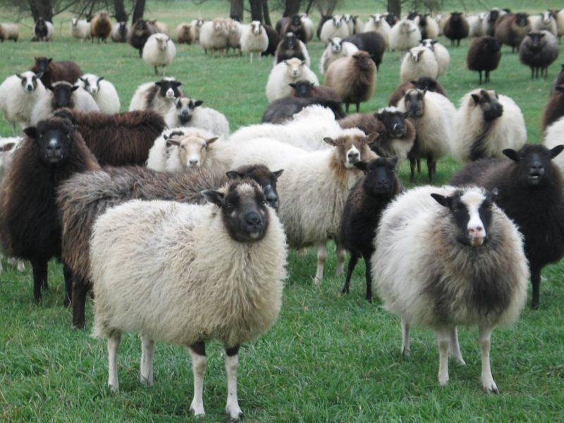 Sheep Star Thrower Farm