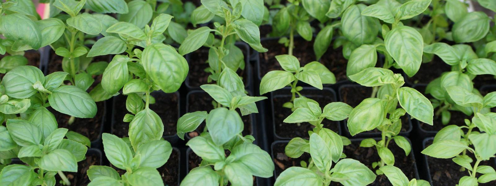 Basil Seedlings Join Our Team