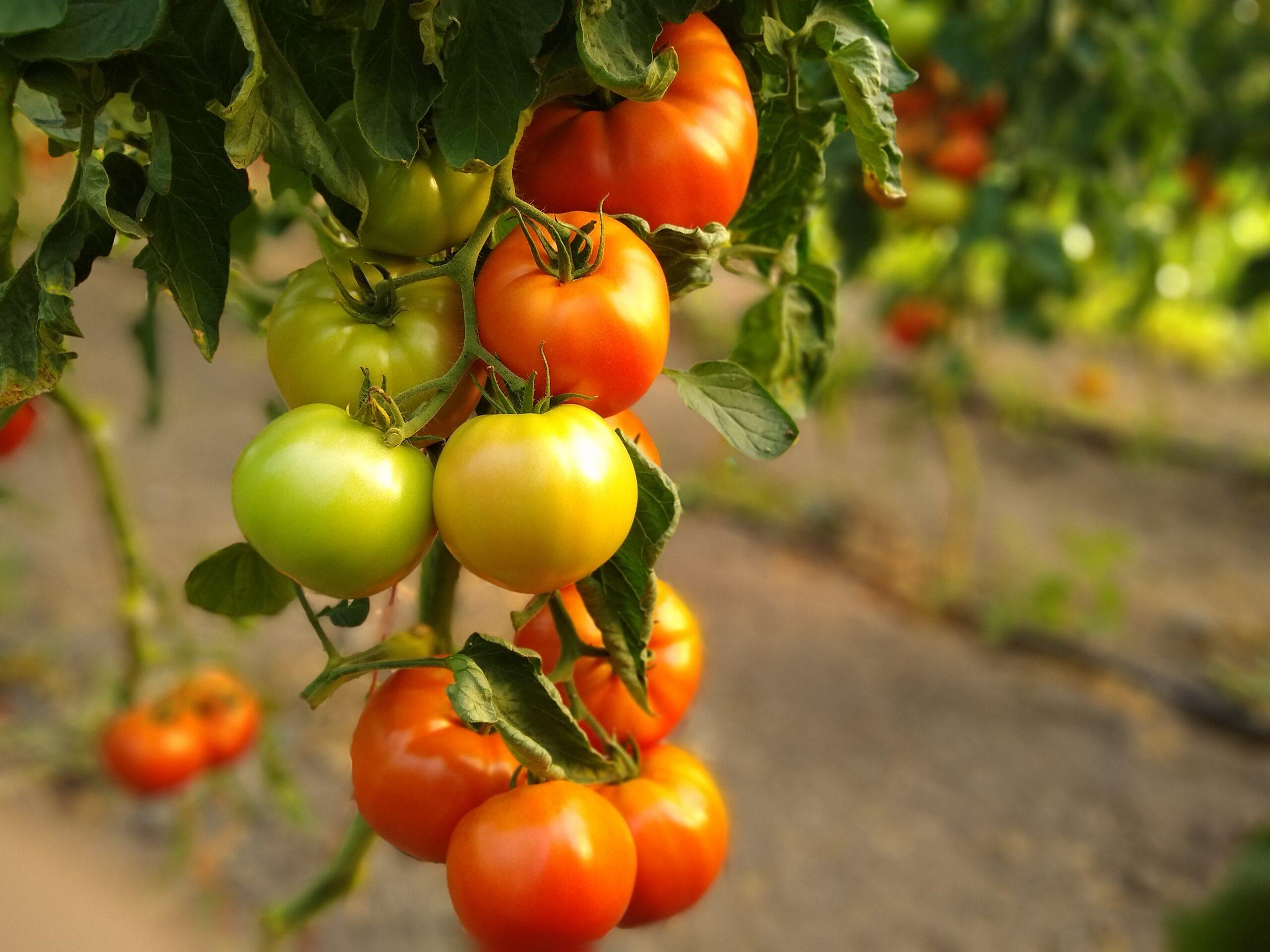 Tomatoes Nistler Farms