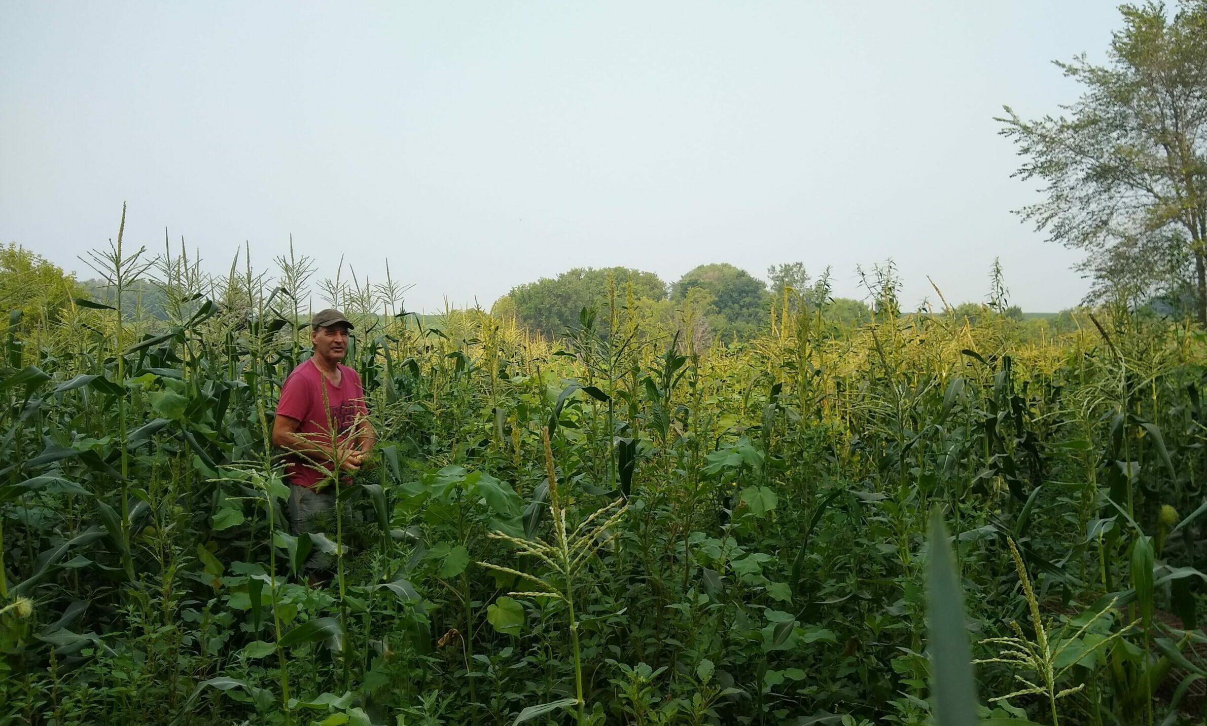 Sweet Corn Field Nistler Farms