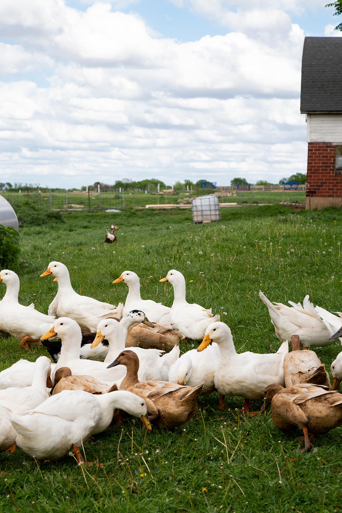 Ducks Shepherd's Way Farms